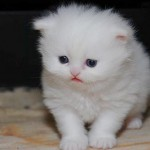 Teacup Persian Cats , 7 Awesome Teacup Persian Cat In Cat Category