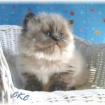 Teacup Persian Cats , 7 Good Teacup Persian Cats In Cat Category