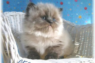 Teacup Persian Cats in Butterfly