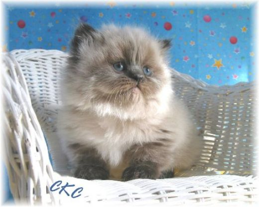 Cat , 7 Good Teacup Persian Cats : Teacup Persian Cats