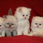 Teacup Persian Cats , 8 Cool Tea Cup Persian Cats In Cat Category