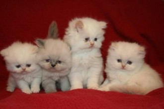 Teacup Persian Cats in Organ