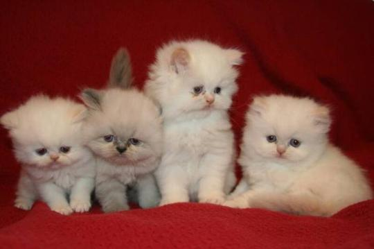 Cat , 8 Cool Tea Cup Persian Cats : Teacup Persian Cats
