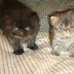 Teacup Persian Kitten , 8 Fabulous Persian Cats Los Angeles In Cat Category