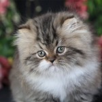 Teacup Persian Kitten , 7 Cool Persian Cat Characteristics In Cat Category