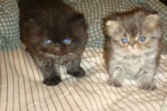 Teacup Persian Kitten , 8 Fabulous Persian Cats Los Angeles In Cat Category