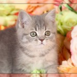 Teacup Persian Kitten , 7 Cool Short Haired Persian Cats For Sale In Cat Category