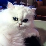 Teacup Persian Kittens , 8 Nice How Much Do Teacup Persian Cats Cost In Cat Category