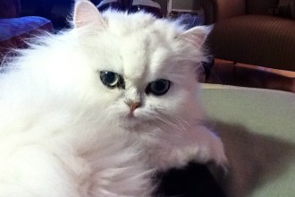 Teacup Persian Kittens in Dog