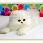 Teacup Persian Kittens For Sale , 7 Good Teacup Persian Cats In Cat Category