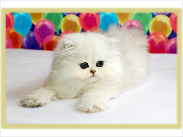 Cat , 7 Good Teacup Persian Cats : Teacup Persian Kittens For Sale