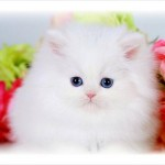 Teacup Persian Kittens , 7 Awesome Teacup Persian Cat In Cat Category