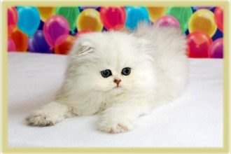 Teacup Persian Kittens , 9 Charming Tea Cup Persian Cat In Cat Category
