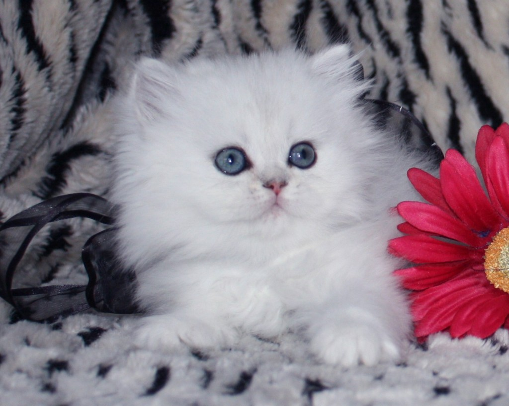 Teacup Persian Kittens : 7 Gorgeous Doll Face Persian Cats ...