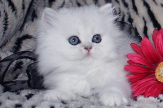 Teacup Persian Kittens in Laboratory