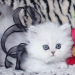 Teacup Persian Kittens , 7 Cute Miniature Persian Cat In Cat Category