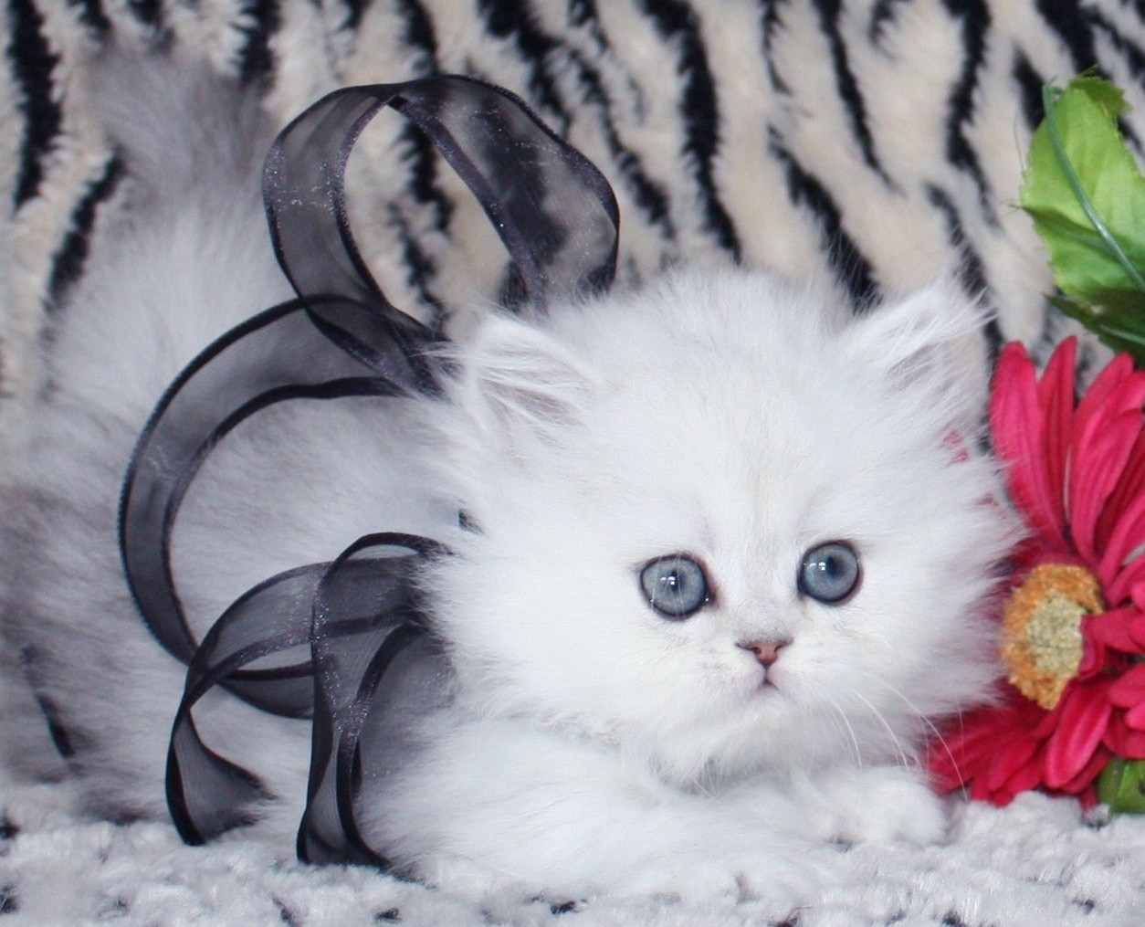 Teacup Persian Kittens 7 Cute Miniature Persian Cat