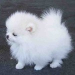 Teacup Pomeranian Puppies , 7 Cute Peekapoo Puppies For Sale In Pa In Dog Category