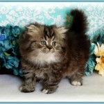 Teacup Size Persian Kittens , 7 Cute Teacup Persian Cat For Sale In Cat Category