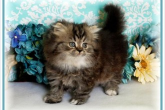 Teacup Size Persian Kittens in Laboratory