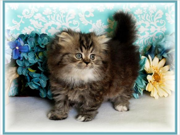 Cat , 7 Cute Teacup Persian Cat For Sale : Teacup Size Persian Kittens