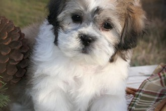 Teddy Bear Puppies , 8 Cute Shichon Puppies For Sale In Nj In Dog Category