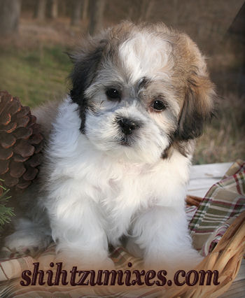 Pictures Of Teddy Bear Haircut For Dogs