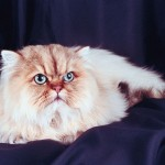The Persian Cat Breed , 9 Nice Persian Cat Eye Care In Cat Category