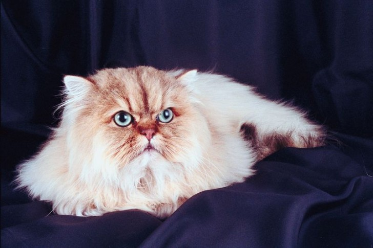 Cat , 9 Nice Persian Cat Eye Care : The Persian Cat Breed