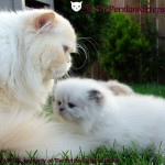 The Persian Cats , 9 Fabulous Persian Cats Breeders In Cat Category