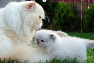 The Persian Cats , 9 Fabulous Persian Cats Breeders In Cat Category