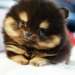 The Pomsky , 6 Cute Pomsky Puppies For Sale In Oklahoma In Dog Category