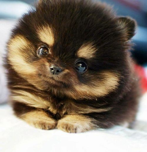 Dog , 6 Cute Pomsky Puppies For Sale In Oklahoma : The Pomsky
