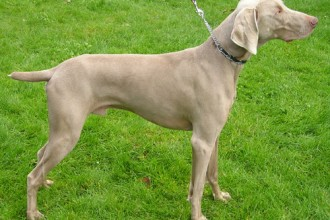 The Weimaraner , 7 Nice Weinheimer Puppies In Dog Category