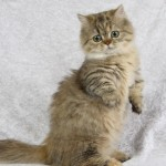 The breed persian , 8 Good Persian Cat Health Problems In Cat Category