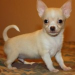 Tiny Beautiful Chihuahua , 8 Cute Chiuaua Puppies For Sale In Pa In Dog Category
