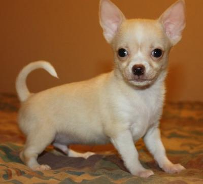 chihuahua for sale in pa tiny beautiful chihuahua 8 cute chiuaua puppies for sale 6677