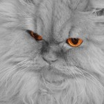 Tomàs in Persian , 9 Cute Persian Cat Health Issues In Cat Category
