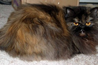 Tortishell Persian Cat , 9 Awesome Types Of Persian Cats In Cat Category