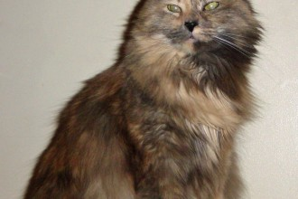 Tortoiseshell Cat in pisces