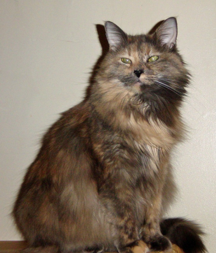 Cat , 4 Good Persian Cat Personality Traits : Tortoiseshell Cat