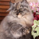 Tortoiseshell Persian Picture , 7 Popular Tortoiseshell Persian Cat In Cat Category