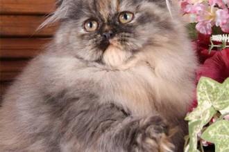 Tortoiseshell Persian Picture , 7 Popular Tortoiseshell Persian Cat In Cat Category