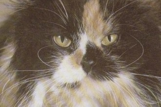 Tortoiseshell White Persian Cat in pisces