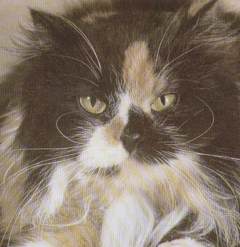 Cat , 7 Popular Tortoiseshell Persian Cat : Tortoiseshell White Persian Cat