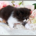 Toy Persian Kitten , 8 Wonderful Toy Persian Cats In Cat Category