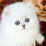 Toy Persian Kittens , 8 Wonderful Toy Persian Cats In Cat Category
