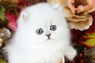 Toy Persian Kittens in Dog