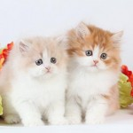 Toy Persian Kittens for Sale , 8 Wonderful Toy Persian Cats In Cat Category
