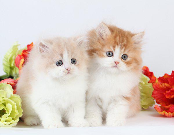 Cat , 8 Wonderful Toy Persian Cats : Toy Persian Kittens For Sale